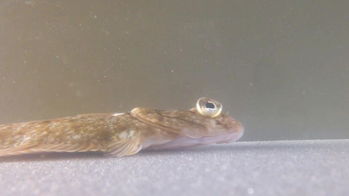 Watch flatfish 'walk' using finger-like fins