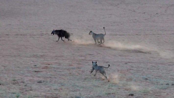 Tense Chase Follows as Unsuspecting Hyena Trespasses on Lion Territory