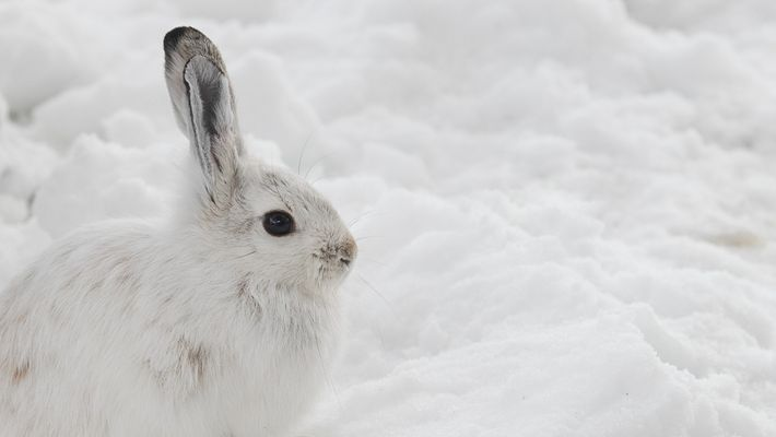 Will Snowshoe Hares Win a Race Between Evolution and Climate Change?