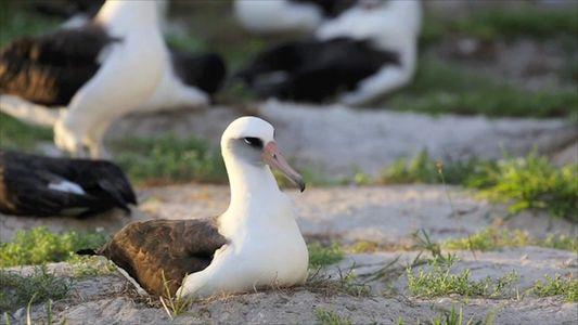 No Spring Chicken: 67-Year-Old Albatross Hatches Chick