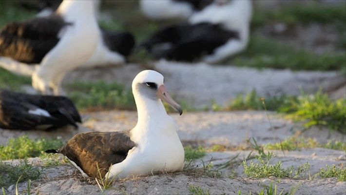No Spring Chicken: 67-Year-Old Albatross Hatches Chick