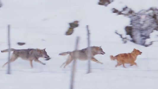 Why Are These Wolves Chasing a Dog, But Not Bothering a Horse?