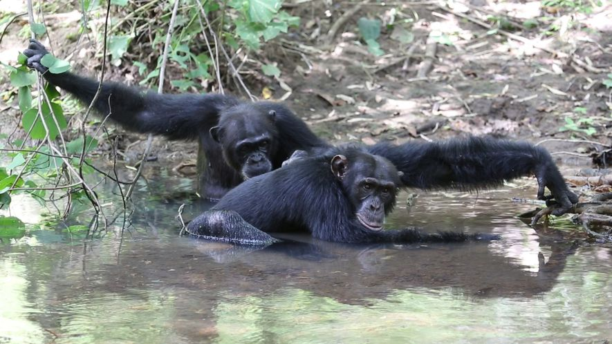 Just Like Us, These Chimps Splash in the River to Stay Cool