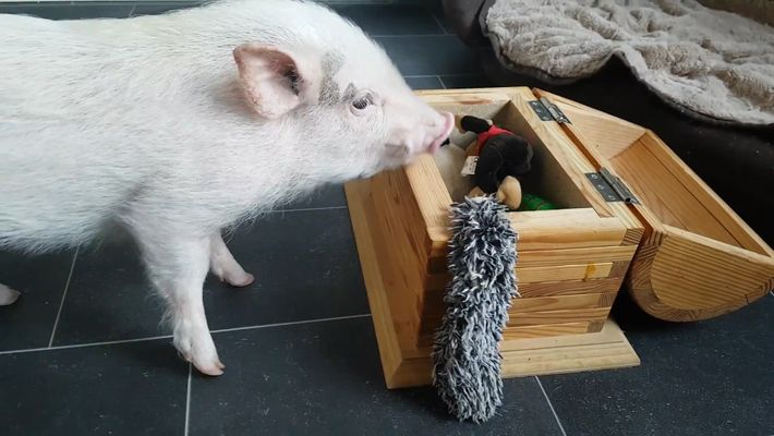 Watch This Pig Do Laundry and Pick Up His Toys