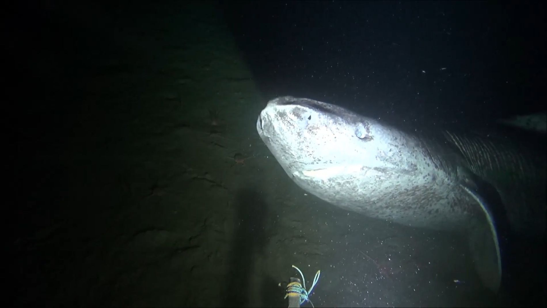 Rare Greenland Shark Filmed Beneath the Canadian Arctic