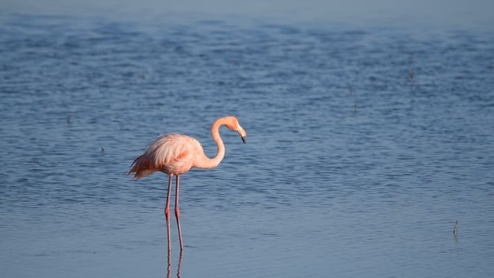 Flamingo Mysteriously Appears in a San Diego Salt Marsh, Far From Home