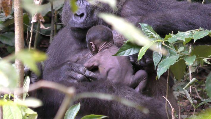 See Rare Video of Wild Gorilla Newborn Clinging to Its Mom