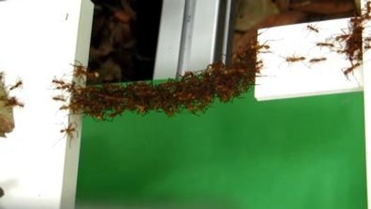 See How Army Ants Can Build Bridges