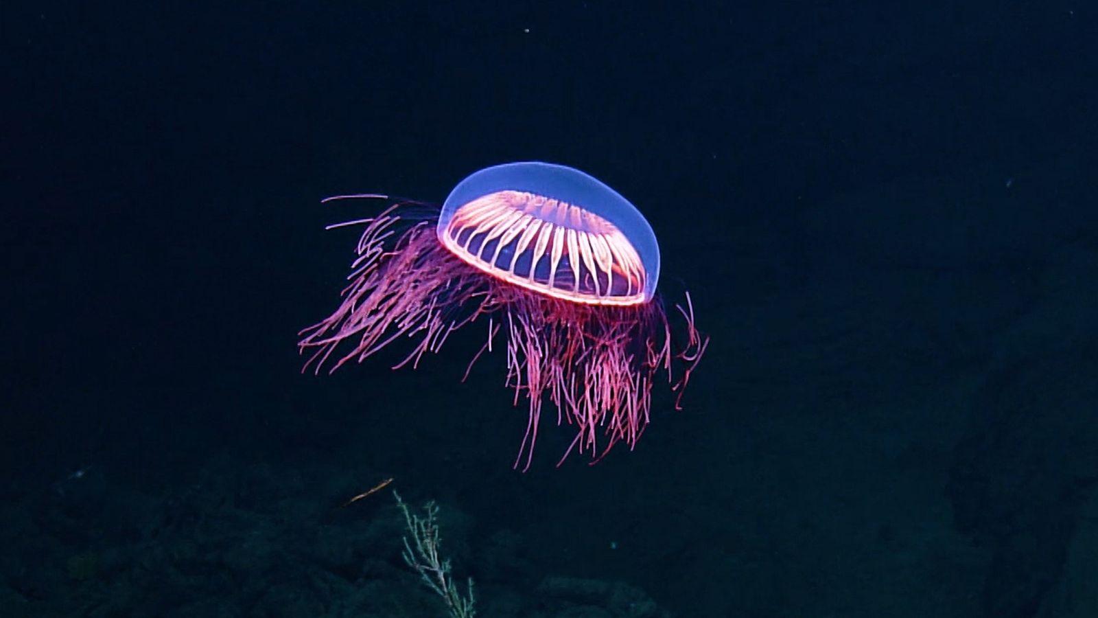 Spellbinding Jellyfish Spotted in Rare Deep Sea Footage