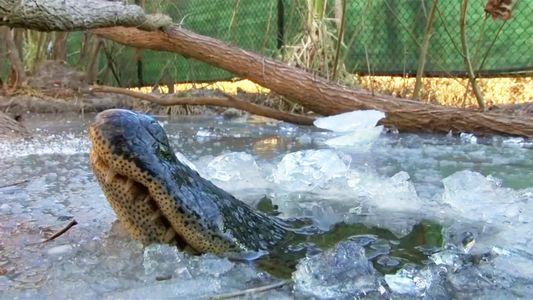 See 'Frozen' Alligators Breathing Through Ice to Survive
