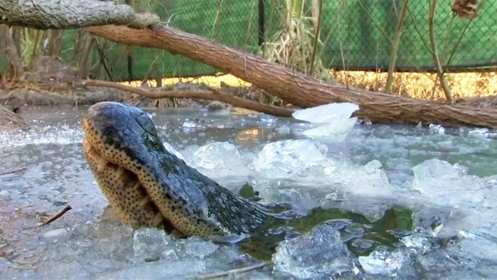 See 'Frozen' Alligators Breathing Through Ice to Survive