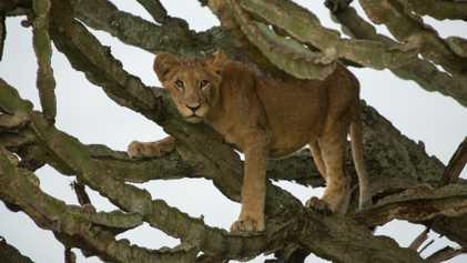 Filmmaker Reflects on Tragic Poisoning of Lion Cubs in Uganda