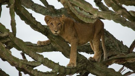 Filmmaker Reflects on Tragic Poisoning of Lion Cubs in Uganda