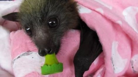 See Rescued Baby Bats Swaddled in Blankets