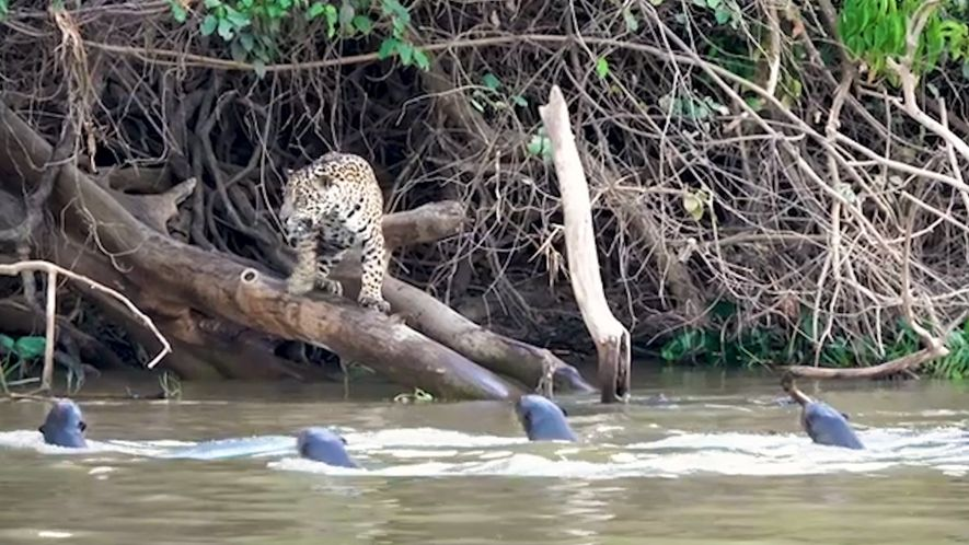 Two Hungry Jaguars Are No Match for This Plucky Otter