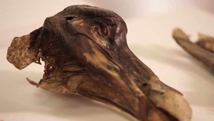 This Famous Dodo Didn't Just Die—It Was Murdered