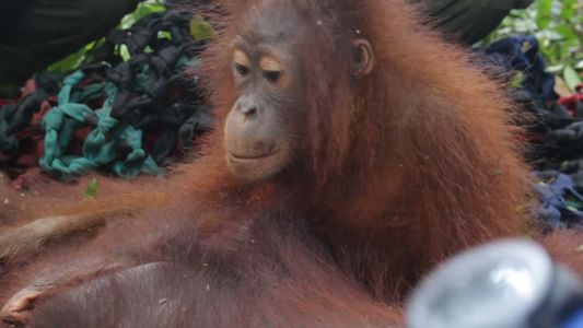 Baby Orangutan and Mother Saved From Near-Death Human Encounter