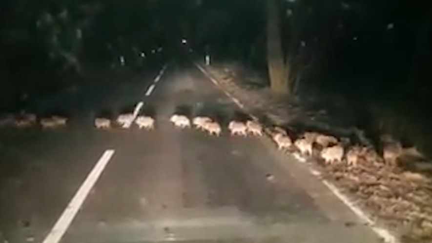 Why Did the Baby Boars Cross the Road?