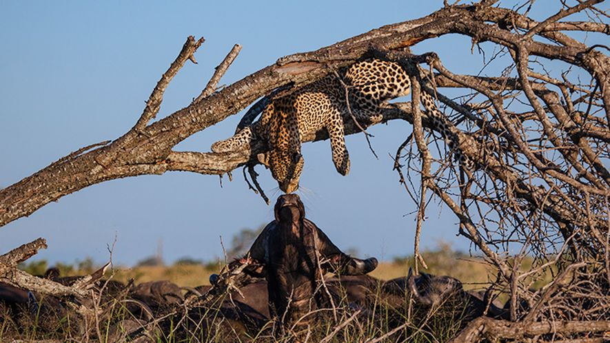 Watch: Leopard and Buffalo 'Kiss' In Rare Moment Caught on Film
