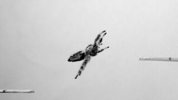 Scientists Teach Spider to Jump on Demand