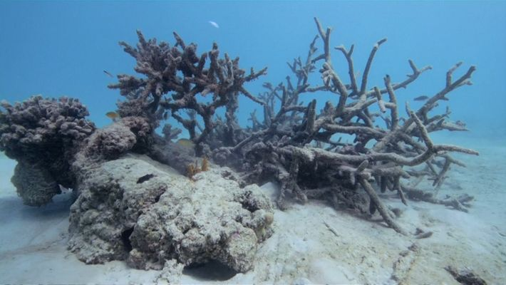 Dying Coral Reefs Found Around Samoan Island of Upolu