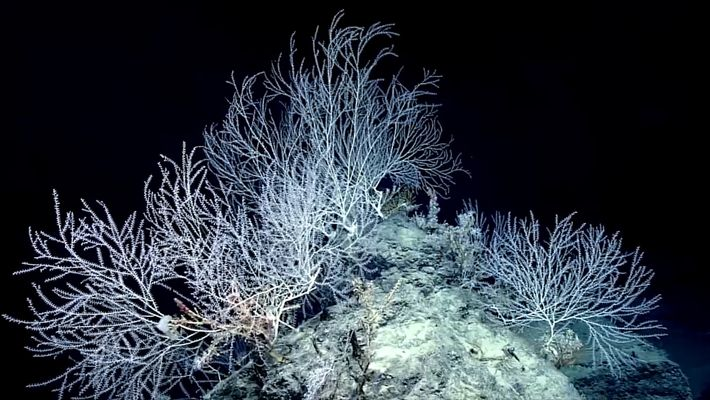 Hidden Forest of Bamboo Coral May Be 1,000 Years Old