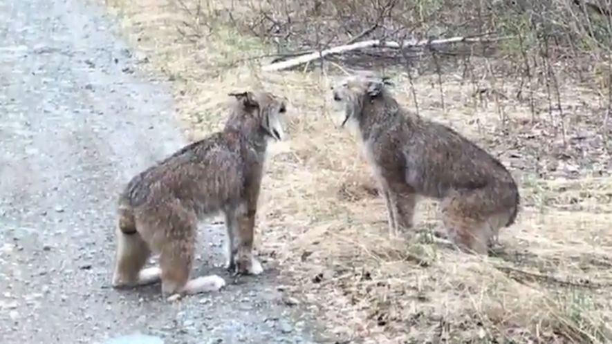 Video Shows the Bizarre Sound of a Lynx Screaming Match