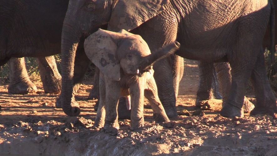 Why is This Baby Elephant Swinging its Trunk Like a Helicopter?