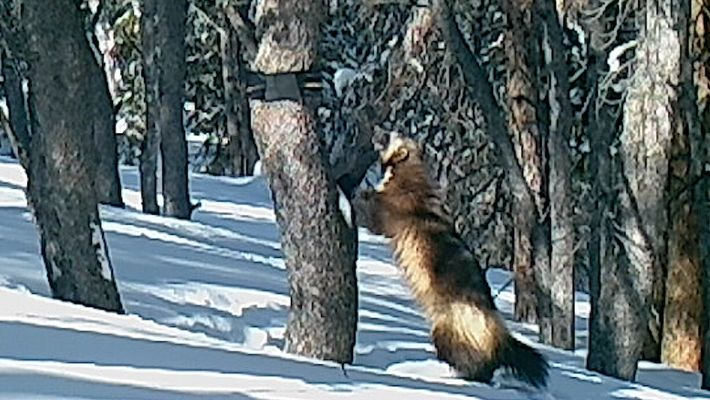 Wolverines Are Stealth Masters—But This One Was Caught On Camera