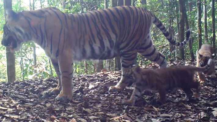 Rarely Seen Tiger Cubs a Sign of Hope for Endangered Species