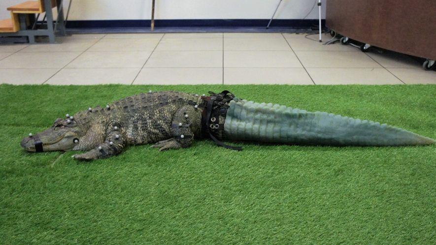 Mr. Stubbs the Tailless Alligator Isn't Stubby Anymore