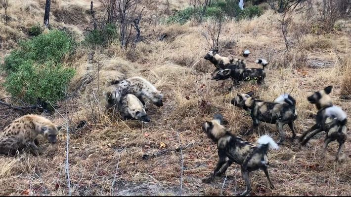 Hyena Clan Fights Off Wild Dogs and Steals Kill