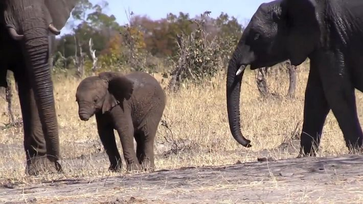 Baby Elephant Loses Trunk