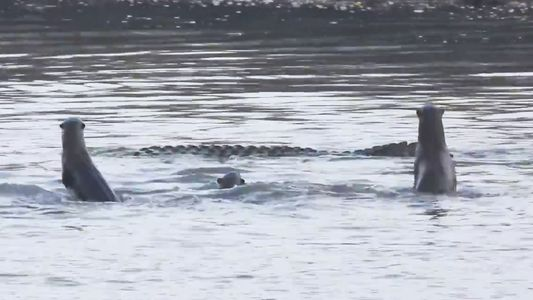 Watch a Family of Otters Fight Off a Crocodile