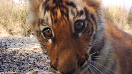 Tiger Population Sees Hopeful Rise in Nepal NEO