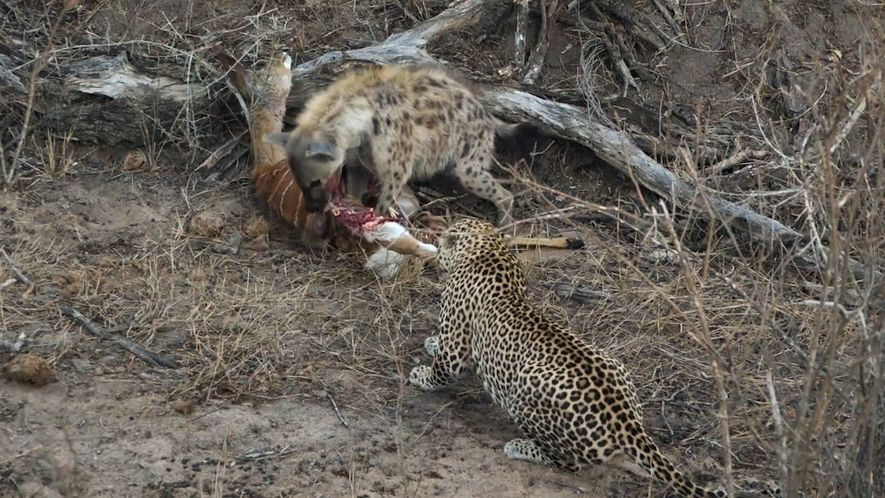 Hyena and leopard share a meal—before a surprise upsets truce