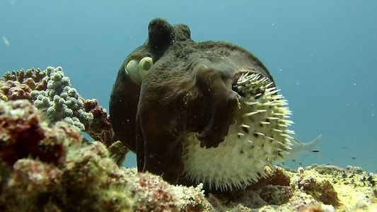 Rare footage shows unusual octopus and puffer fish interaction