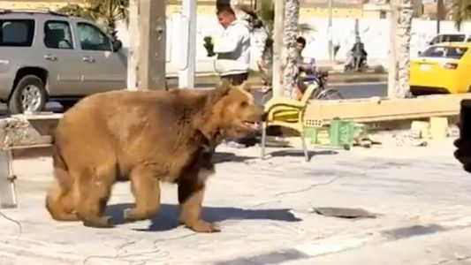 Watch an Escaped Bear Roam the Streets of Basra, Iraq