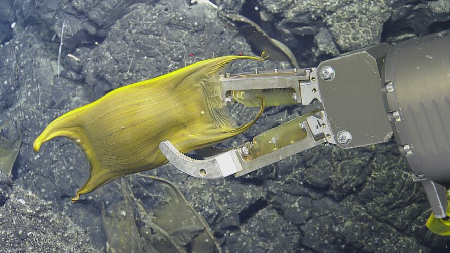 Rare Video: Deep-Sea Creature Incubates Eggs on Hydrothermal Vents