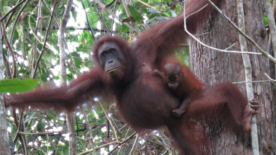 Nearly 150,000 Orangutans Lost to Logging, Palm Oil, and Human Conflict