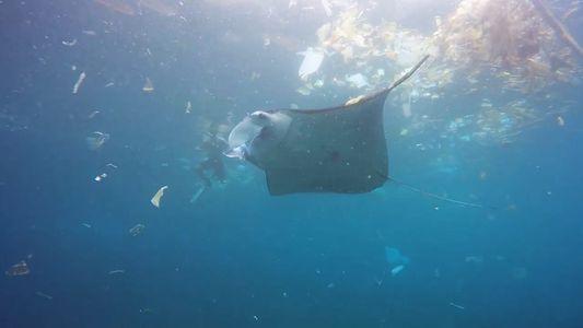 Manta Ray Swims in Rubbish-Filled Ocean