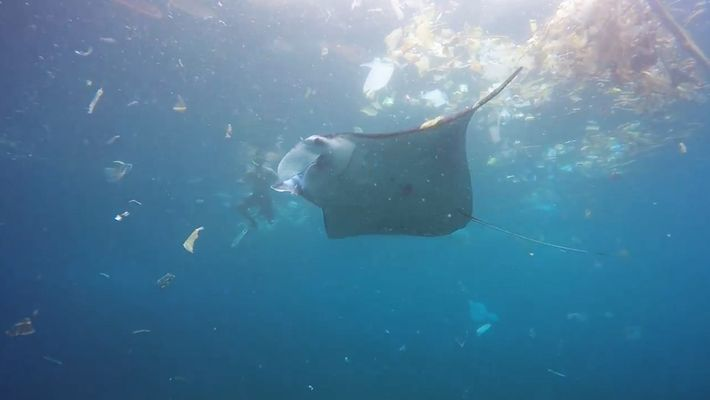 Manta Ray Swims in Rubbish-Filled Ocean