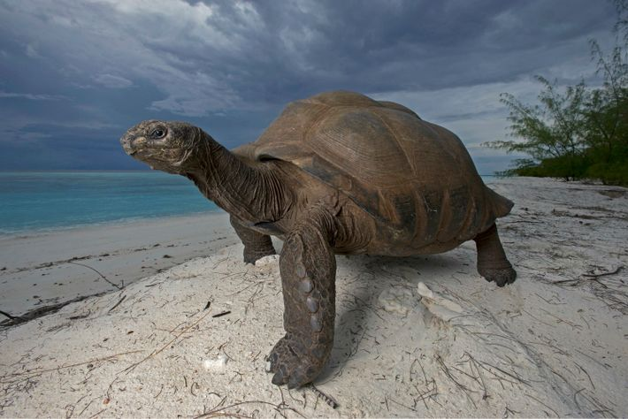An Aldabra giant tortoise strolls over a dune on Picard Island. Never ones to be rushed, ...