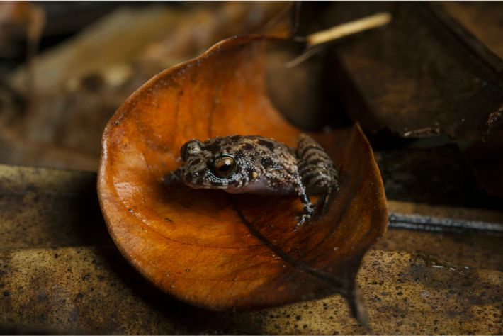 A Soglossid frog rests in a fallen leaf in the Vallée de Mai nature reserve. Seychelles ...
