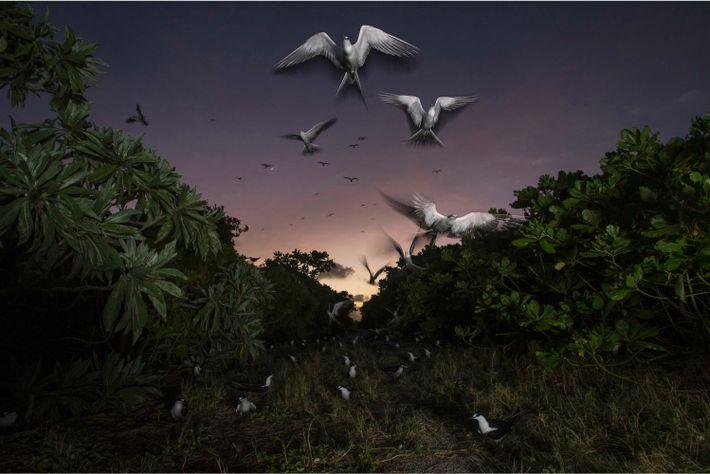 Sooty terns return to their colony on Bird Island. Each Spring, around 1.5 million amass here ...