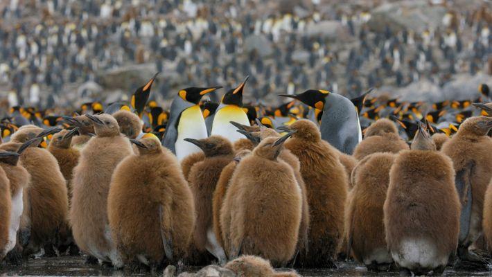 Go Inside an Antarctic 'City' of 400,000 King Penguins