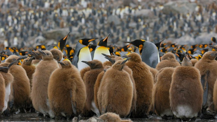 Go Inside an Antarctic 'City' of 400,000 King Penguins