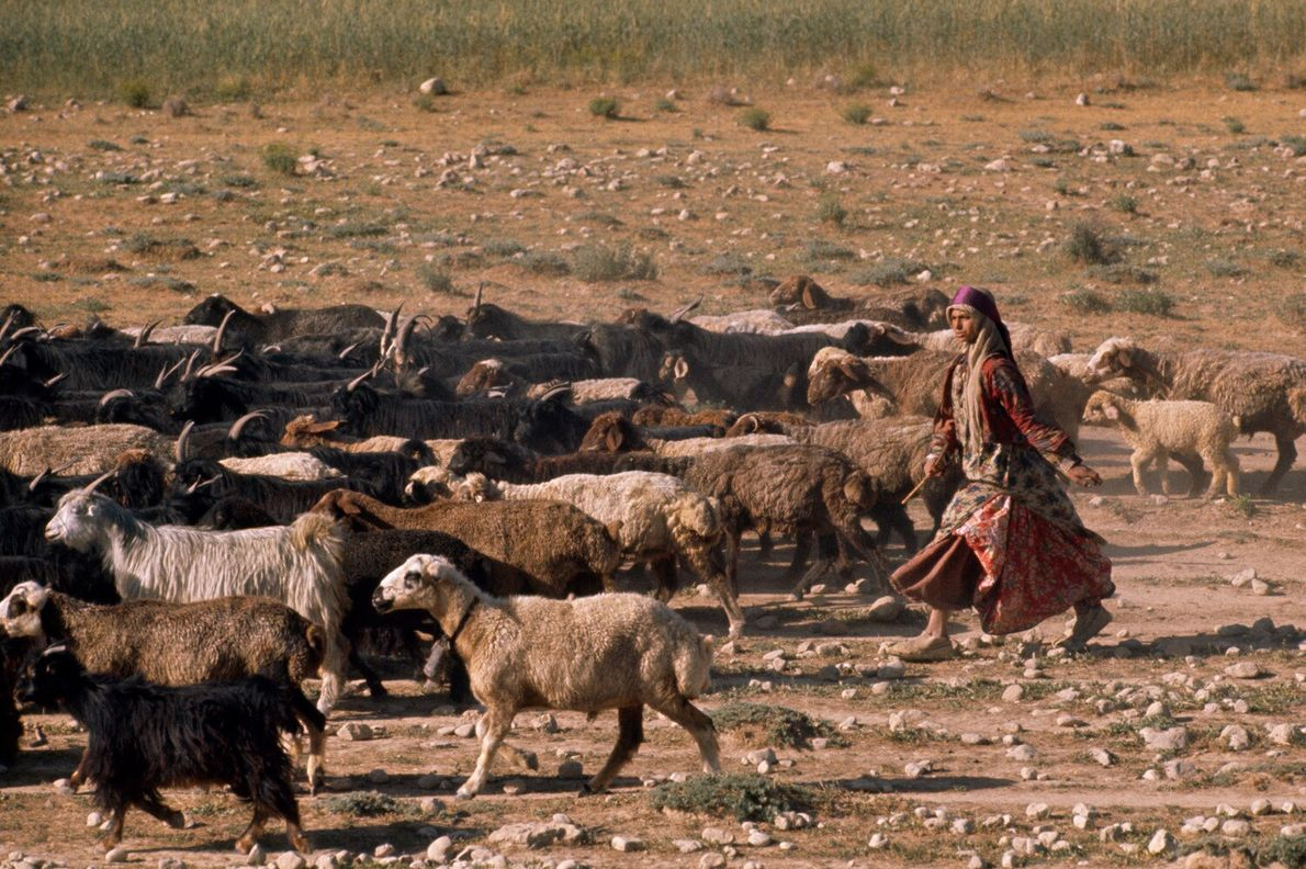 Iran, 1961: a Qashqai girl in traditional dress herds goats on summer pastures. The Qashqai are ...
