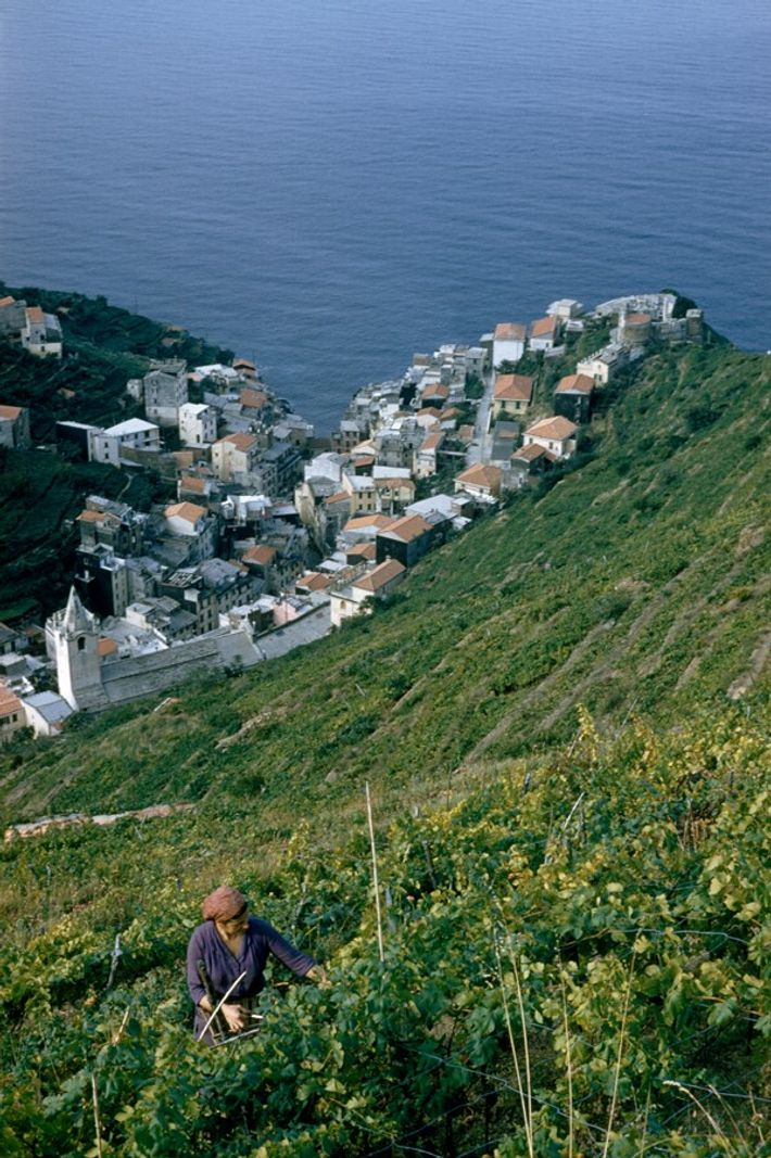 A woman picks wine grapes on the steep hillside looking over Manarola. The climate and terrain ...