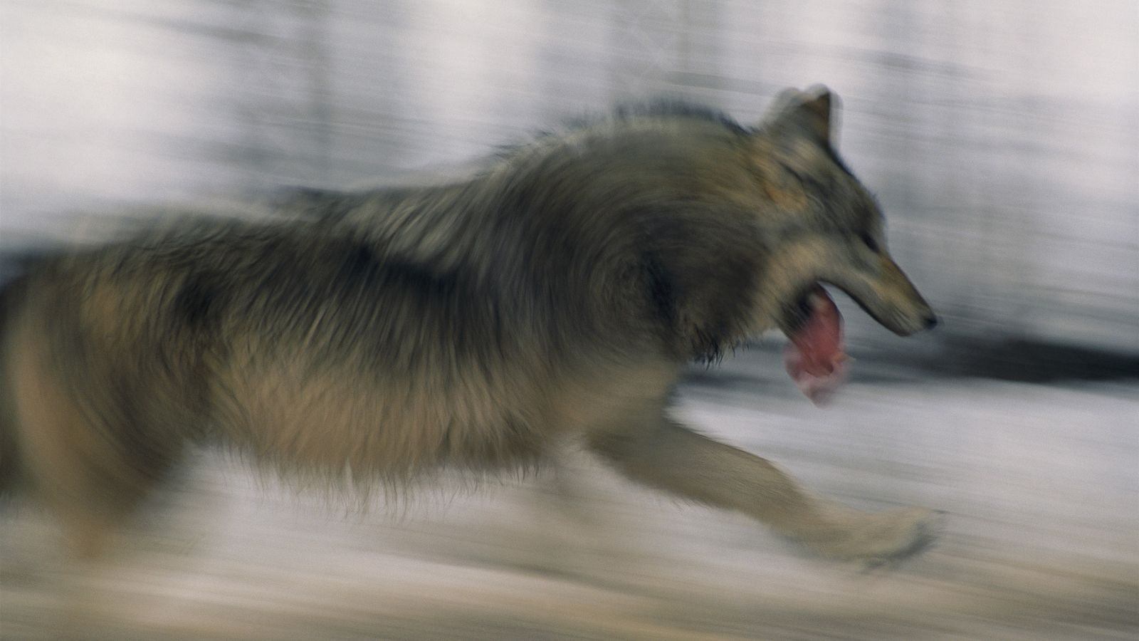 A grey wolf in Minnesota. Long one of nature's most complex and mythologised predators, there is ...